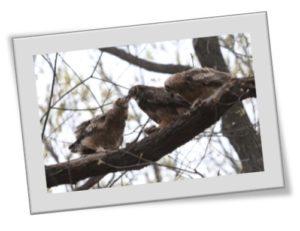 Forest Park Owls: Hunting & Feeding
